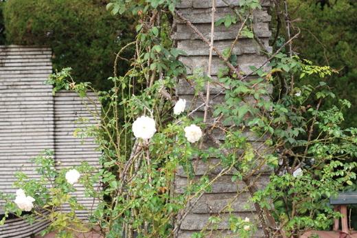 rosa-banksiae-lutea-7971.JPG