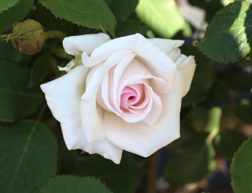 淡いピンク色の整形花でフルーティな香りがあります