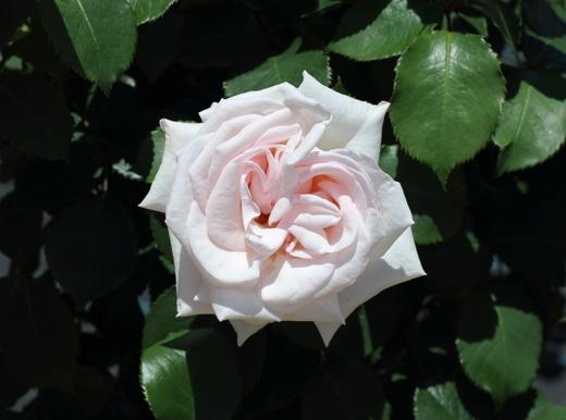 ブッシュ系フロリバンダ種のバラ
