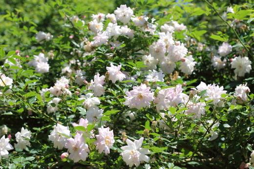 早咲きの白色中輪バラ