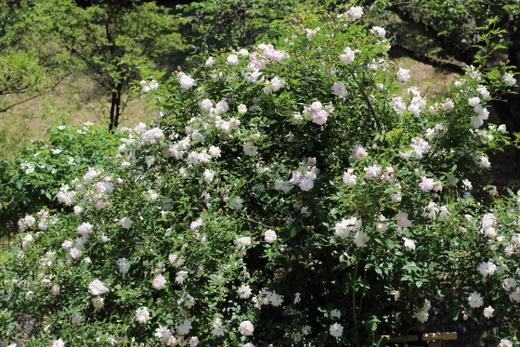 花首が短く花つきがよい品種