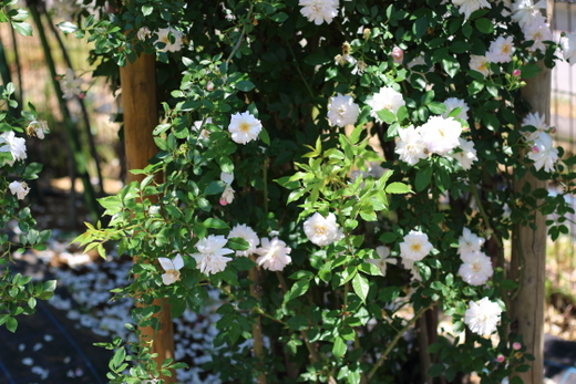 原種の一季咲きのバラ