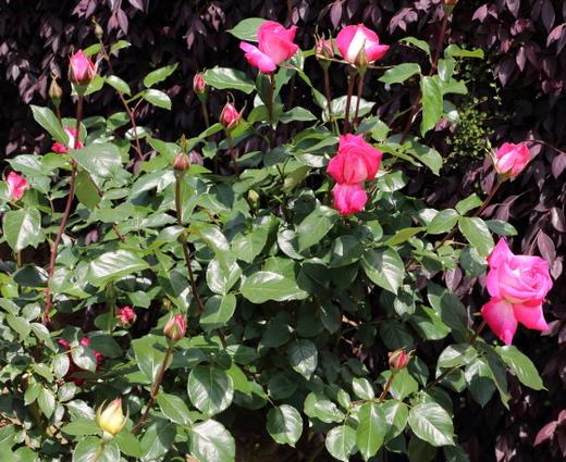 ローズ ゴジャールは剣弁高芯咲きです