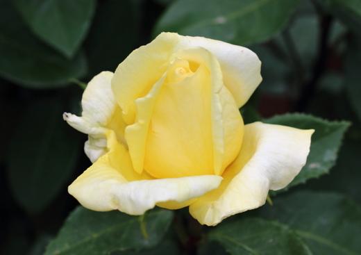 ローズヨコハマは香りの素晴らしいバラです