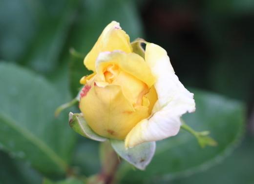1998年日本バラ会銅賞受賞のバラ