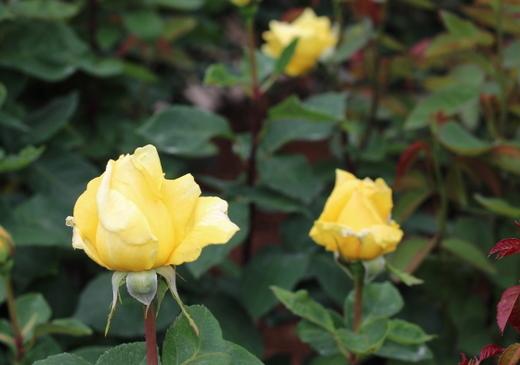rose-yokohama-9339.JPG