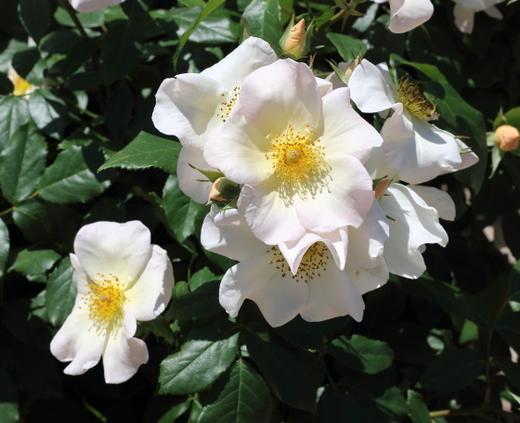 花形は一重から八重咲き