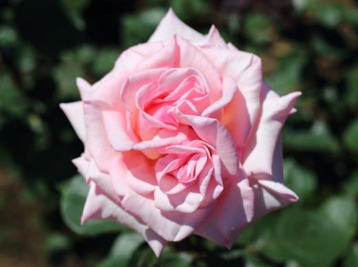賛美は淡いピンク色の花色
