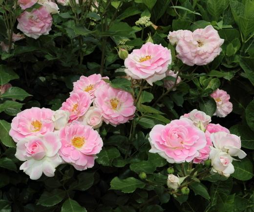 シェアリング ア ハピネスは丸弁平咲きのバラ