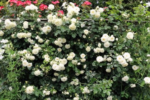 開花は四季~返り咲きのバラです