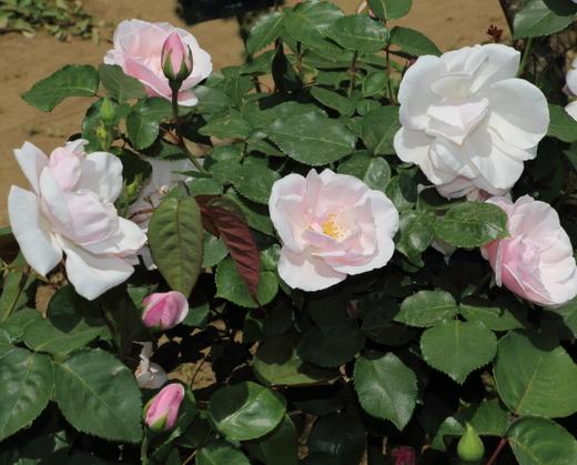 スヴニール ドゥ セント アンズは四季咲きです