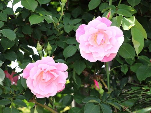 スパニッシュ ビューティーは一季咲き