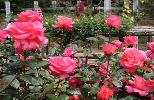 スペルバウンドは四季咲き品種です