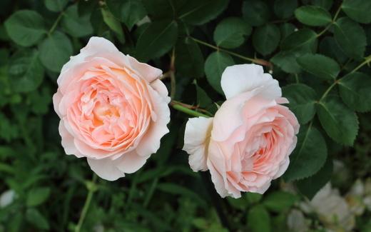 タモラの花色はアプリコット色にピンクのグラデーションがかる