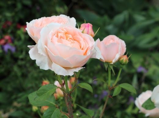 タモラはカップ咲き~ロゼット咲きへ変わる