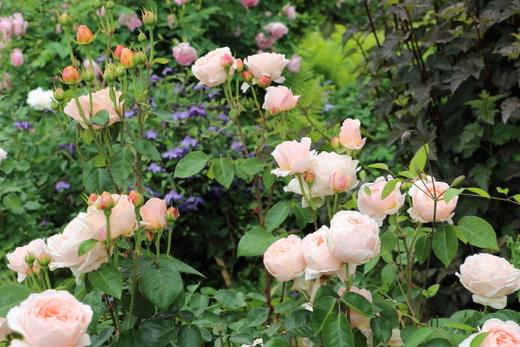 タモラは大輪サイズのバラ