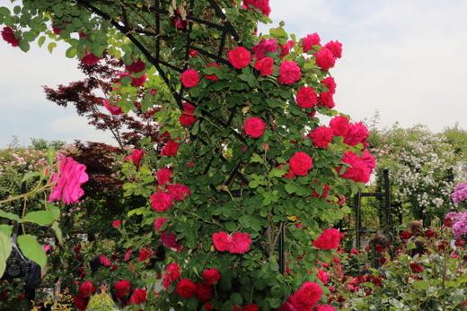 テス・オブ・ザ・ダーバーヴィルズは繰り返し秋まで咲きます