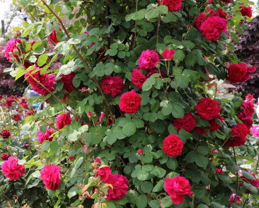 シュラブ系で半つる性のバラ