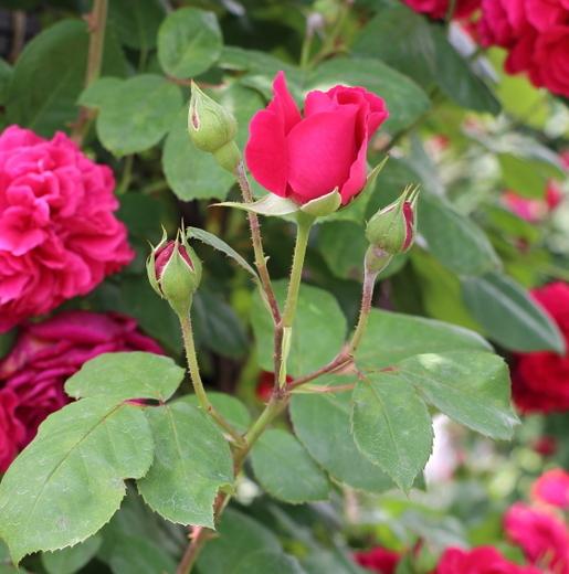 クリムソン・レッド色の花色で中輪咲き