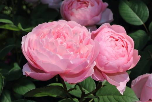 桃色とサーモンピンク色の中間色のバラ