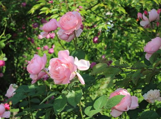 繰り返し咲き花をつけて咲き続けます