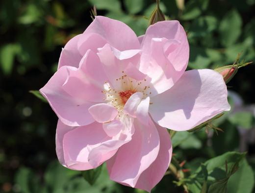半八重咲きのピンク色のバラ