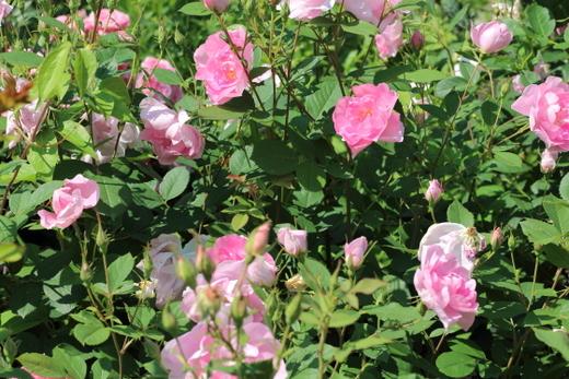 花びらは14枚前後の中輪花