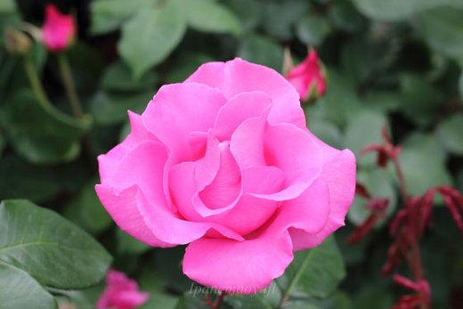 the-mccartney-rose-9296.JPG