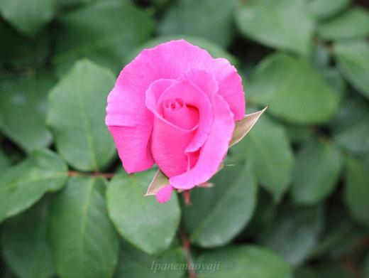 the-mccartney-rose-9297.JPG