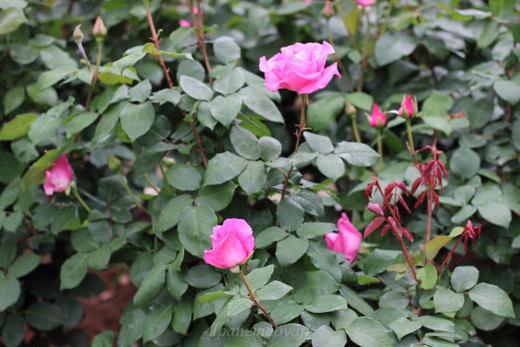 the-mccartney-rose-9298.JPG