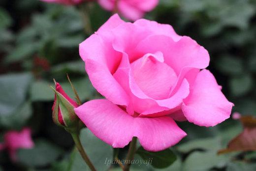 the-mccartney-rose-9299.JPG