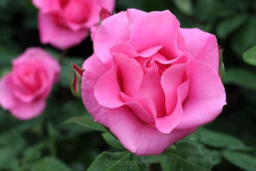 the-mccartney-rose-9321.JPG