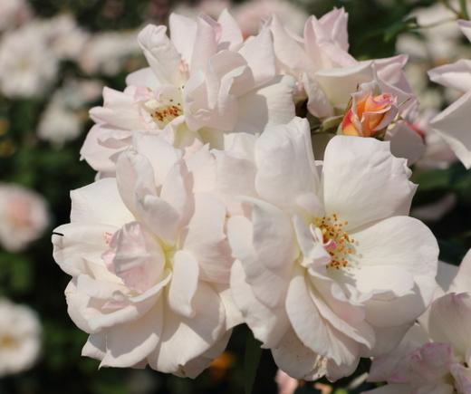 淡いベージュ色の花弁
