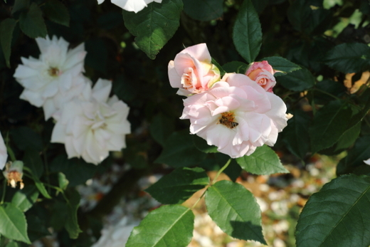 花弁は半剣弁より丸味を帯びている