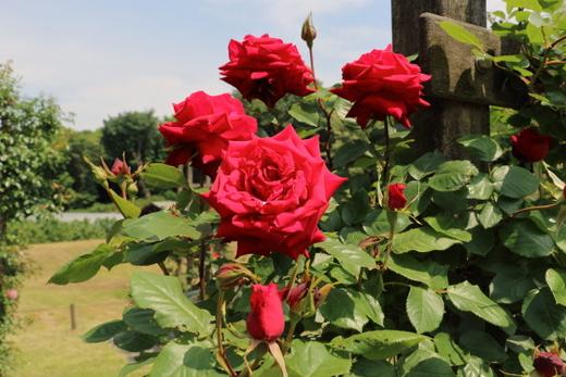 つるバラの品種の中でも最も花形が整う