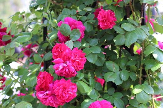 under-the-rose-9979.JPG