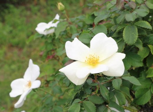 ホワイト・ノック・アウトは四季咲き性です