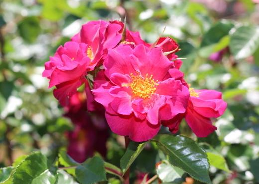 四季咲き性の半八重咲き