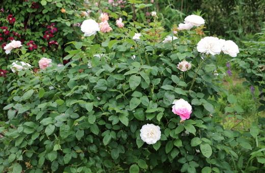 花径は7cmの中輪サイズ