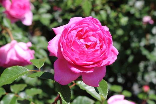 イギリスのデビッド・オースチンが作出したバラ