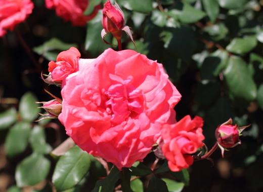 オレンジ色と赤色の中間色のバラ