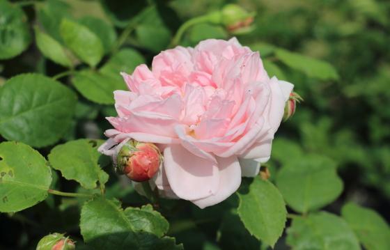 淡いサーモンピンク色の大輪咲き