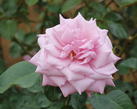 半剣弁高芯咲きの大輪バラ