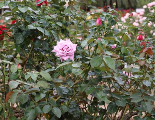 開花するとロゼット咲きになる