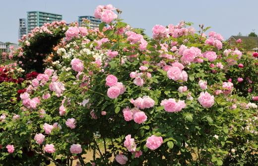cottage-rose-0519.JPG