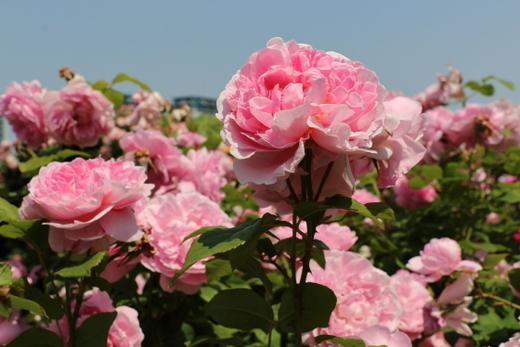 cottage-rose-0521.JPG
