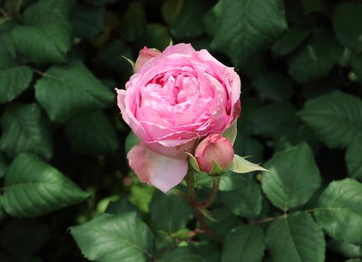 エロディゴシュインは濃い桃色のカップ咲きです