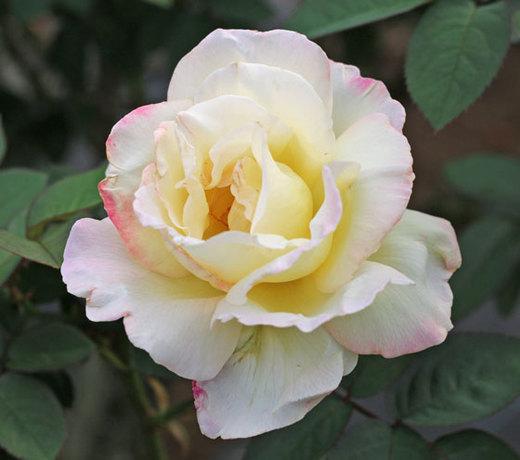 ガーデンパーティはロゼット咲きになる