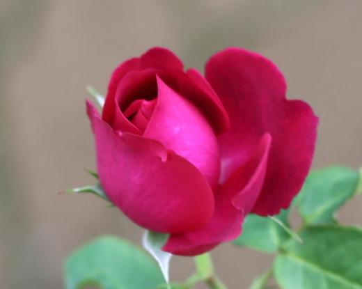goethe-rose-8226.JPG