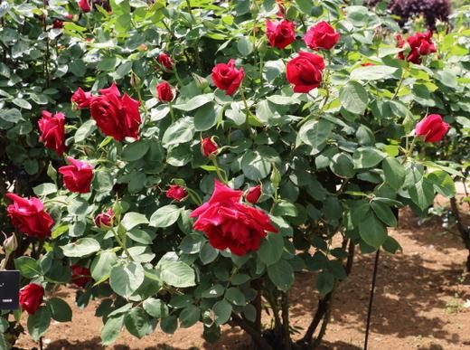 京成バラ園芸が作出したバラ